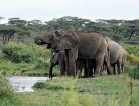 タンザニア 水を飲むゾウの群れ
