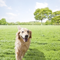 草原を走るゴールデンレトリバー 犬