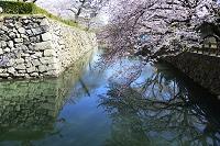 姫路 桜 姫路城の外堀