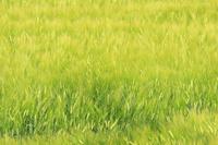北海道 大麦 ビールムギ