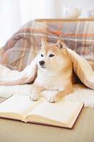 こたつで読書する豆柴犬