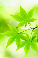 神奈川県 新緑のモミジ