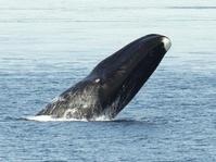 アラスカ ホッキョククジラ