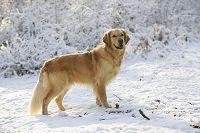 ゴールデンレトリバー犬