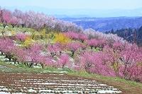 福島県 桃畑