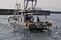 垂水漁港 イカナゴ漁船とユリカモメ