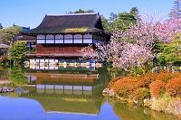 京都府 梅の平安神宮