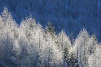 長野県 朝日を浴びる霧氷のカラマツ林