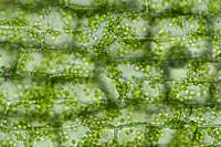 オオカナダモ 原形質流動 葉の裏 倍率400 A-2