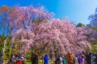 東京都 六義園 満開の桜
