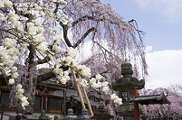 奈良県 氷室神社 白モクレンと早咲きの枝垂れ桜