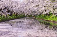 青森県 弘前城外濠の花筏と桜