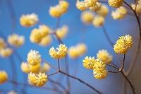 花 ミツマタ
