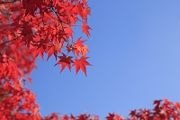 紅葉した大阪城公園