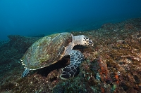 南アフリカ インド洋 タイマイ