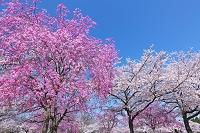 埼玉県 しだれ桜の花