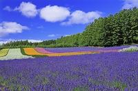 北海道 ファーム富田のラベンダーと花畑