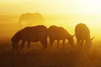 ケニア アンボセリ国立公園 朝焼け グラントシマウマとアフリ...