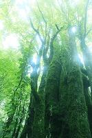 霧の中のカツラの大木