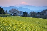 神奈川県 菜の花と富士山朝景
