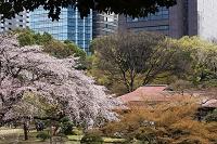 東京都 小石川後楽園 サクラ