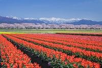 富山県 チューリップ畑と北アルプス