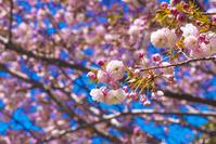 八重桜 センリコウ 千里香