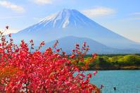 山梨県 南都留郡 八重桜と富士