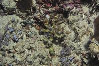フィリピン セブ島 擬態するモクズショイ