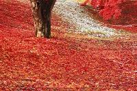 青森県 弘前公園・辰巳櫓付近 モミジの落葉と幹