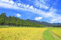 滋賀県 初秋のメタセコイア並木