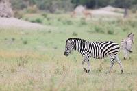 ボツワナ モレミ野生動物保護区 シマウマ