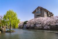 岐阜県 桜咲く四季の広場