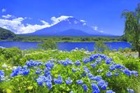 山梨県 アジサイと富士山
