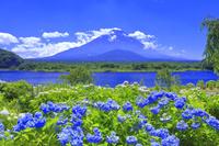 山梨県 夏のアジサイと富士山