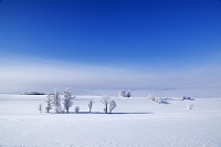 北海道 美瑛町 凍て付いた霧氷の丘