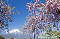 山梨県 しだれ桜と富士山