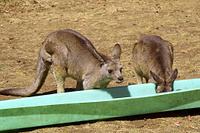 餌場のカンガルー タスマニア オーストラリア