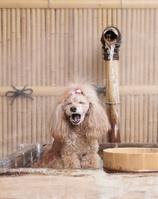 温泉に入るトイプードル犬