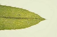 オオカナダモ 葉の表 倍率50