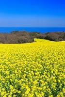 兵庫県 菜の花の咲くあわじ花さじき