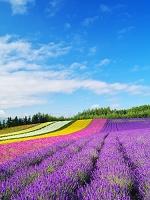 北海道 ファーム富田 彩りの畑