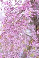 京都府 半木の道 しだれ桜