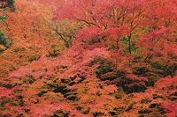 京都府 大楓の紅葉