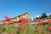 曼殊沙華の花と田んぼ