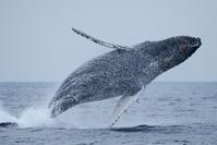 沖縄県 座間味村 座間味島 ザトウクジラのブリーチ