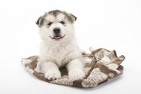 シベリアンハスキー クッションでリラックスしている仔犬
