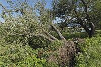 台風で倒れたサクラの木