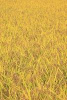 岩手県 盛岡市 黄金色の稲穂