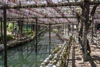 愛知県 天王川公園の藤
